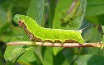 Виды бабочек и гусениц