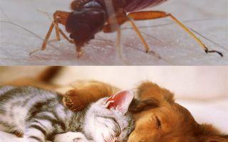 Кусают ли клопы собак и кошек