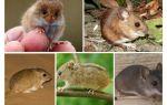 Виды мышей