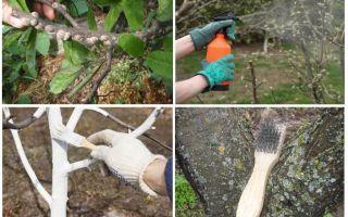 Как бороться со щитовкой в саду на сливе, вишне и прочих деревьях