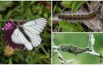 Описание и фото гусеницы и бабочки боярышницы, как бороться