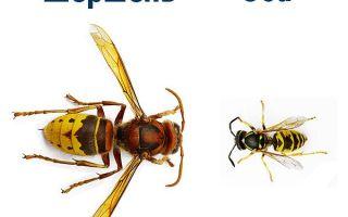 Чем отличается шершень от осы
