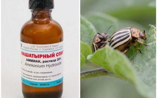 Нашатырный спирт против колорадского жука