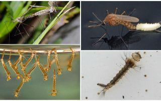 Описание и фото личинок комаров