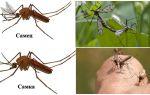 Что едят самцы и самки комаров