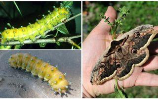 Описание и фото гусеницы павлиний глаз