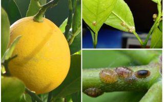 Как избавиться от тли на комнатных растениях в домашних условиях