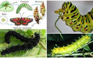 Описание гусениц, их питание и строение