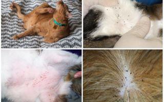 Кошачьи блохи, как выглядят на фото