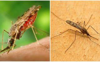 Как выглядят малярийные комары и чем они опасны для человека