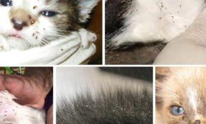 Как вывести блох у кормящей кошки и новорожденных котят