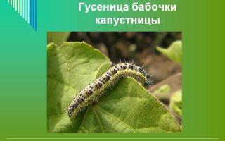 Описание и фото гусеницы и бабочки капустницы