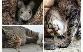Как избавиться от запаха мышей