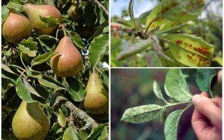 Как избавиться от тли на груше